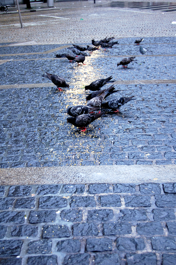 pigeons line 01
