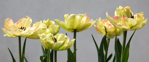 Tulips   03