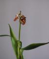 Tulips [3]