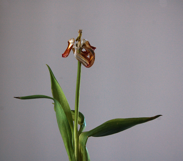 Tulips   12