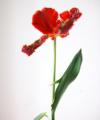Tulip Book