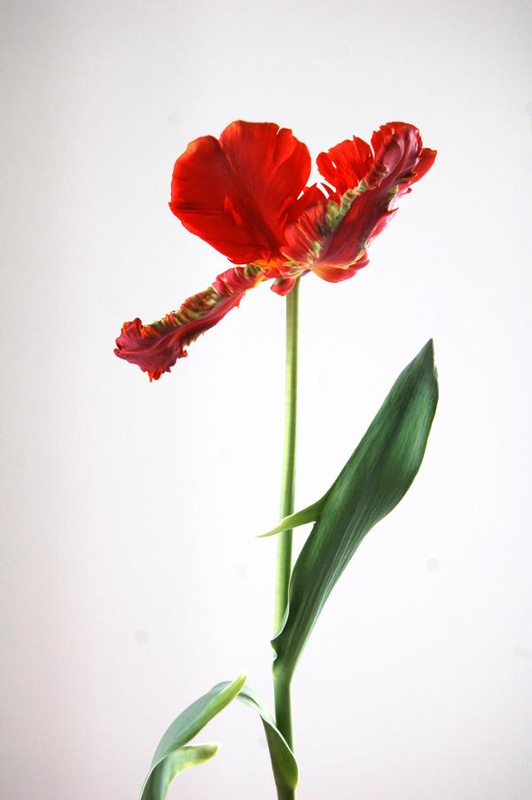Tulip portrait   02