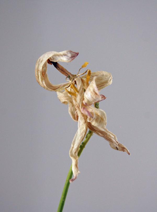 tulip decay  02