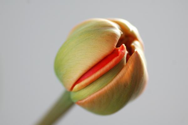 Tulpen april 2014 03