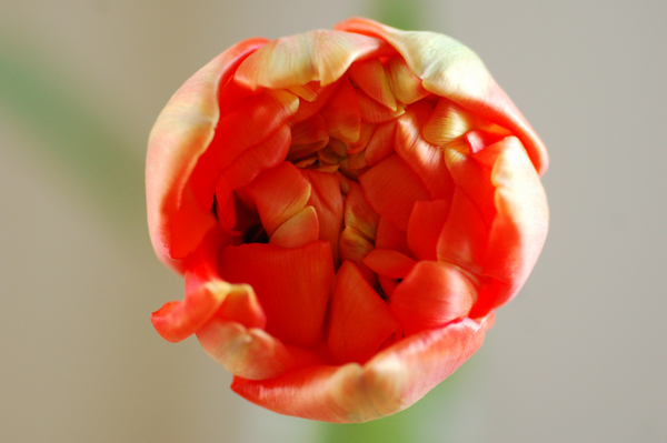 Tulpen april 2014 07