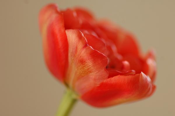 Tulpen april 2014 08