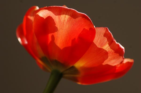 Tulpen april 2014 09