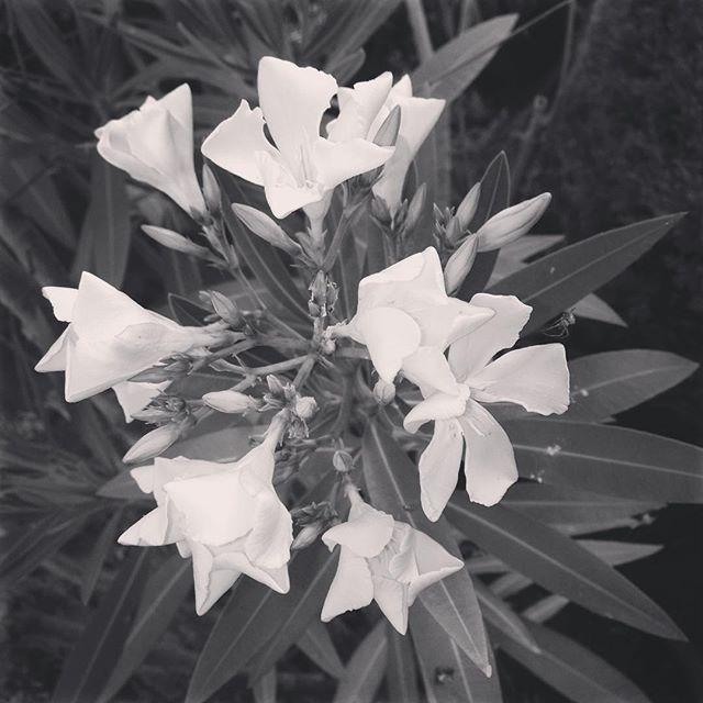 oleander (1)