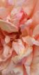 karen's roos
