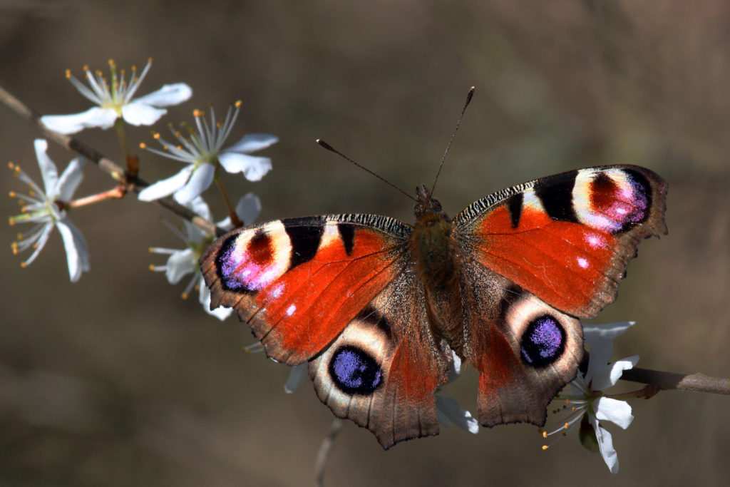 peacock_butterfly_inachis_io_2