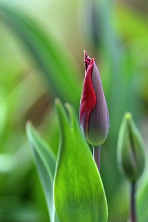 Tulips march 2017 22