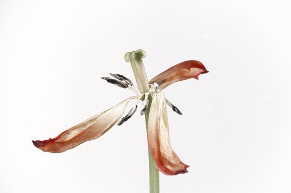 overblown tulips 01