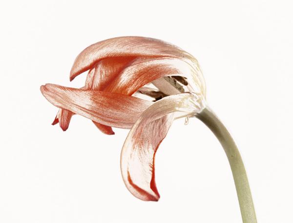 overblown tulips 09
